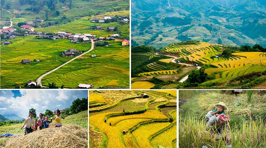 sapa rice terrace season