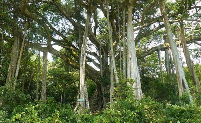 banyan tree in son tra peninsula